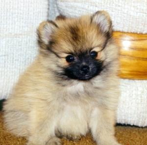 puppy Taz