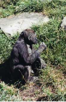 Chimp, Calgary Zoo, Calgary, AB; 8-2002, Minolta Maxxum 7000 35 mm