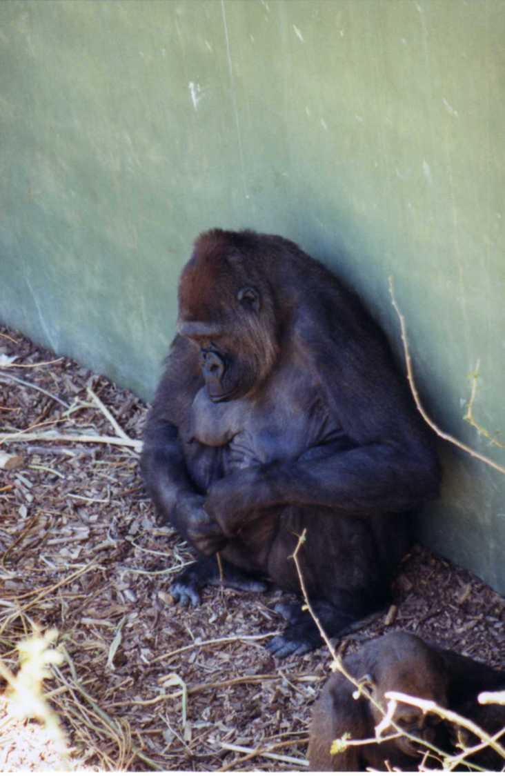 gorilla, Calgary Zoo, Calgary, AB; 8-2002, Minolta Maxxum 7000 35 mm